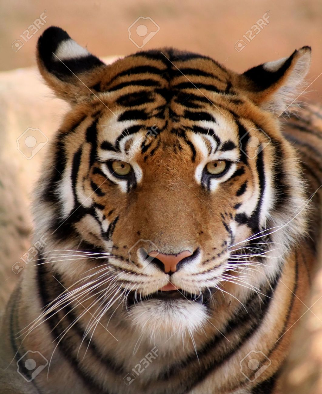 close up picture tigers face with slightly open mouth stock photo