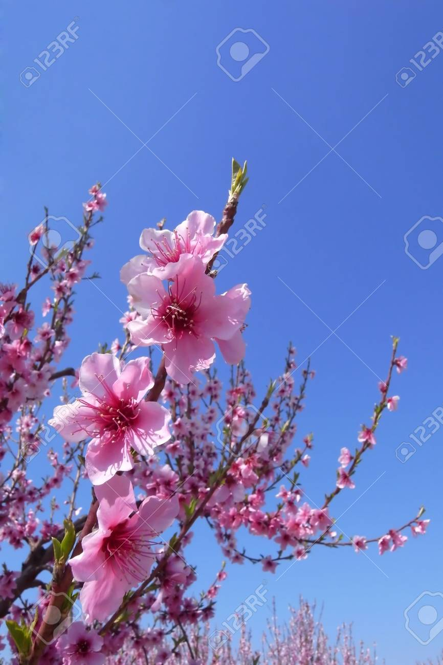 Cherry blossoms with blue sky and copy space Stock Photo - 5407518