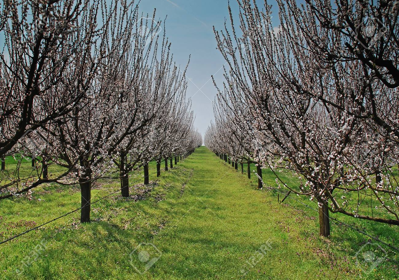Orchard With Flowering Trees White Spring Flowers On The Branches