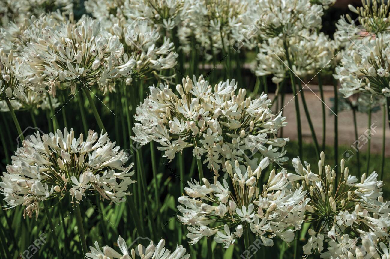 White Agapanthus Flowers Also Known As Lily Of The Nile In A