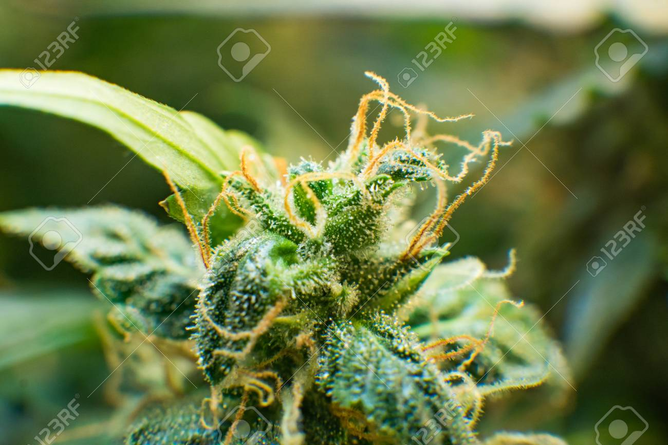 Trichomes of marijuana flower with THC and CBD  Young cannabis