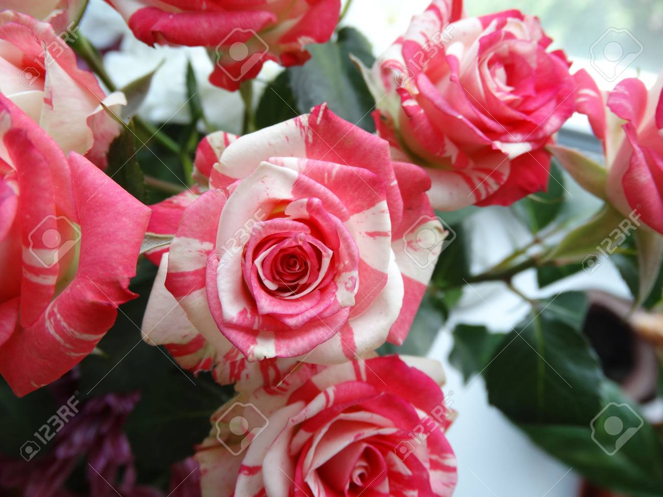 Bouquet Of Roses Flowers Bud Red White Nature Garden Petals Color ...