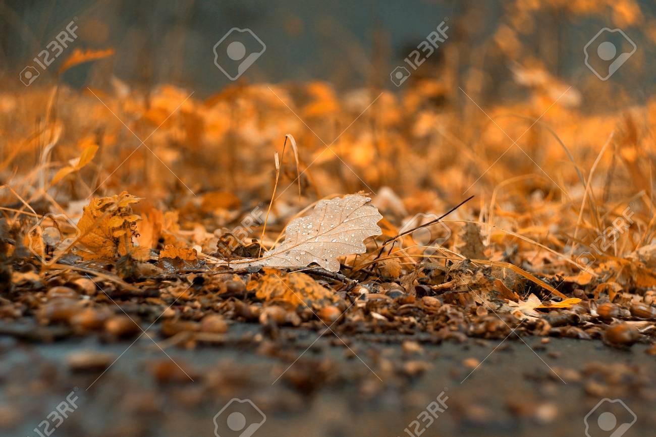 Oak leaf of autumn forest in september october wallpaper background outdoor nature closeup beautiful landscape acorns