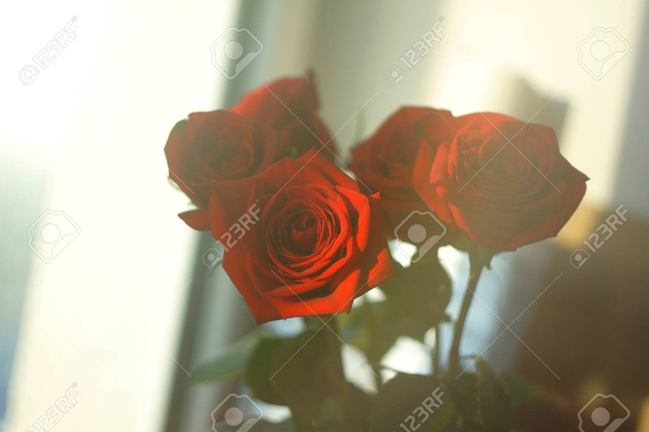122054237 red rose on the window background wallpaper texture view beautiful flora romantic lovely bouquet pre