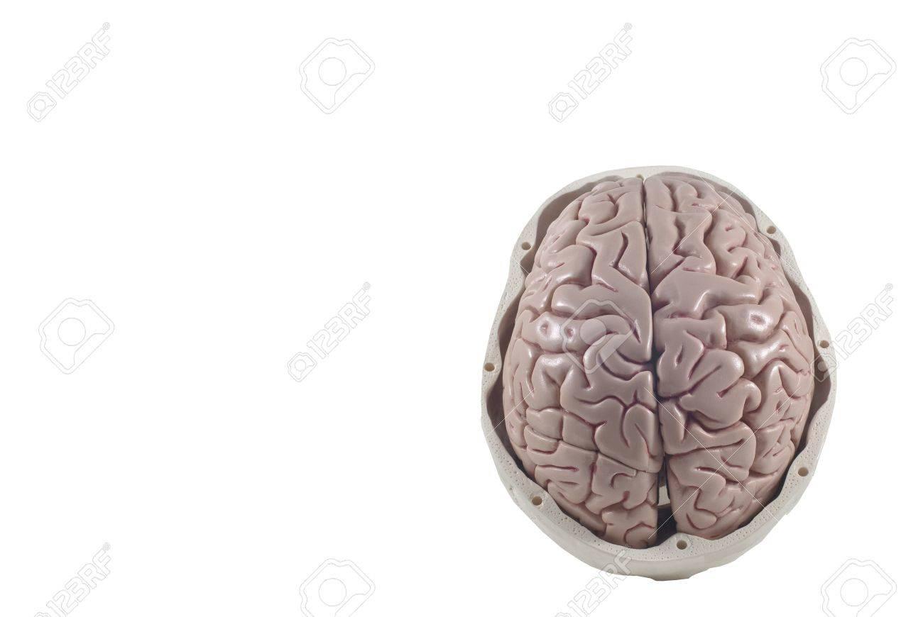 Human skull with brain model,isolated Stock Photo - 10789293