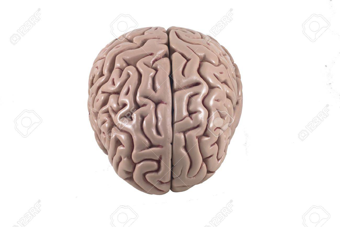 Human Brain Model Isolated Stock Photo Picture And Royalty Free