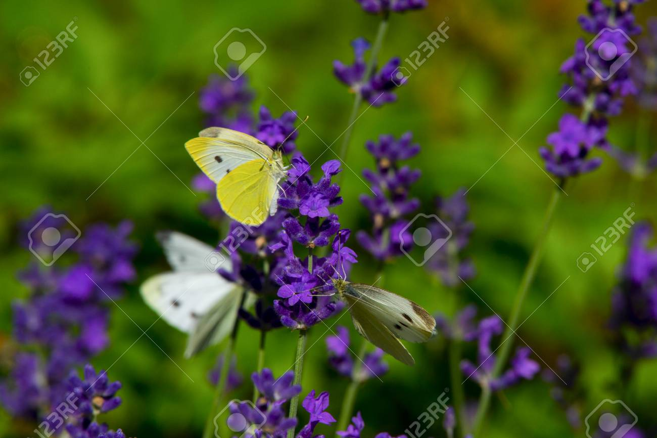 Large Yellow Butterfly On Violet Lavender Flower Stock Photo