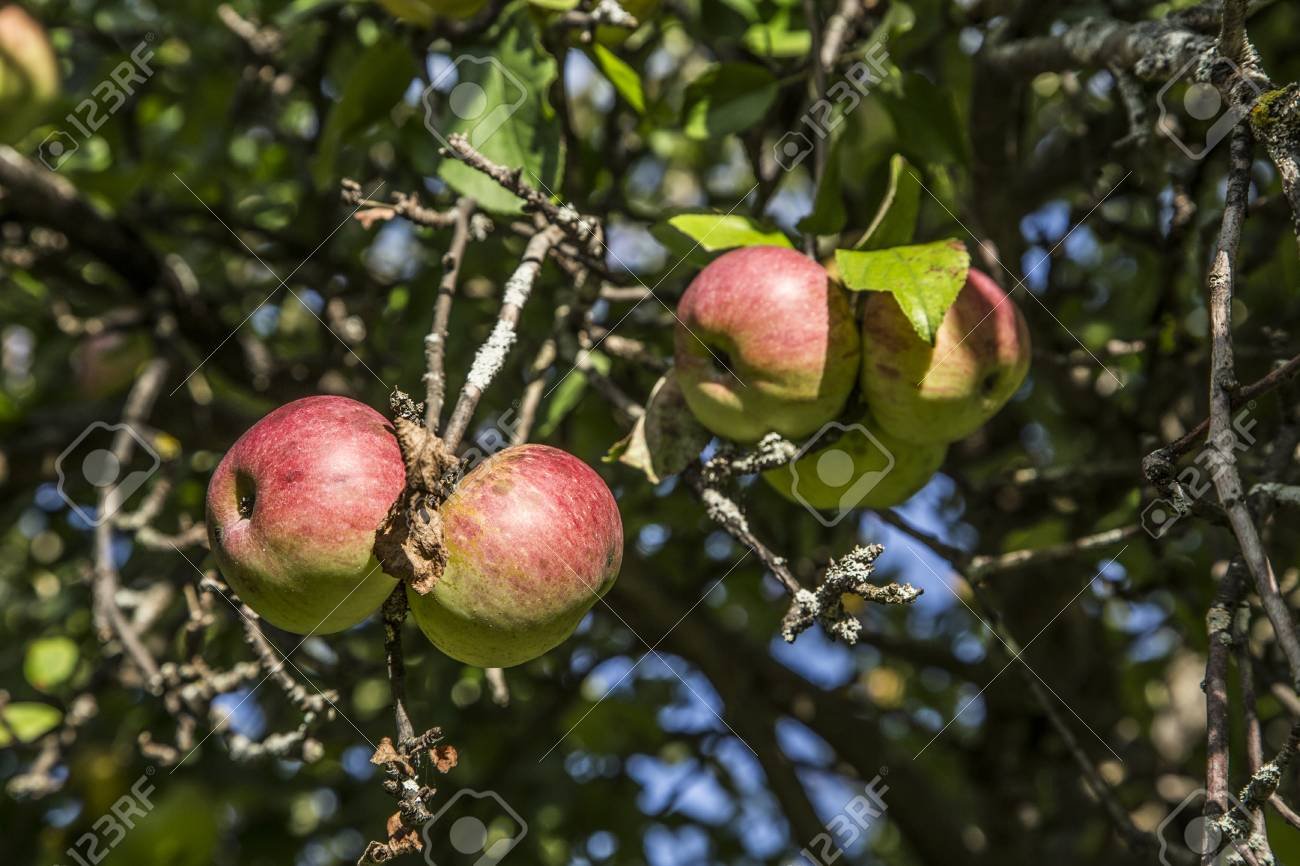 リンゴは木で熟す ロイヤリティ...