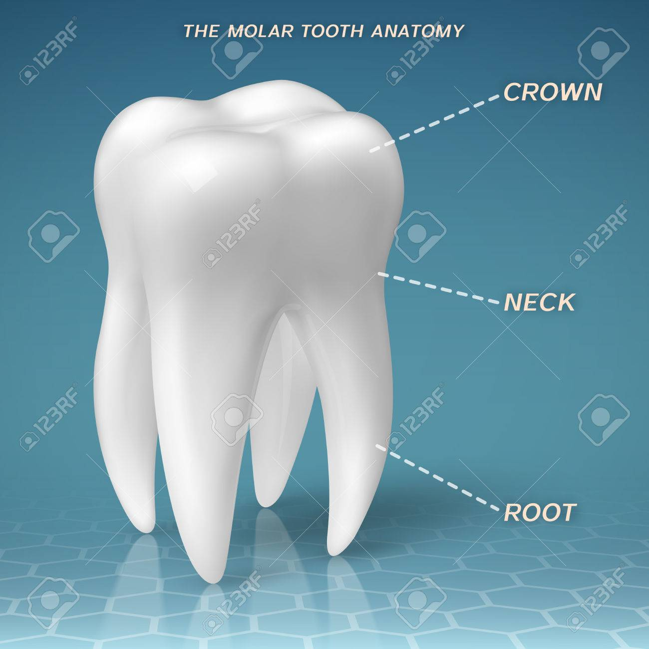 Molar Anatomy - Crown, Neck And Root Of Tooth Royalty Free Cliparts ...