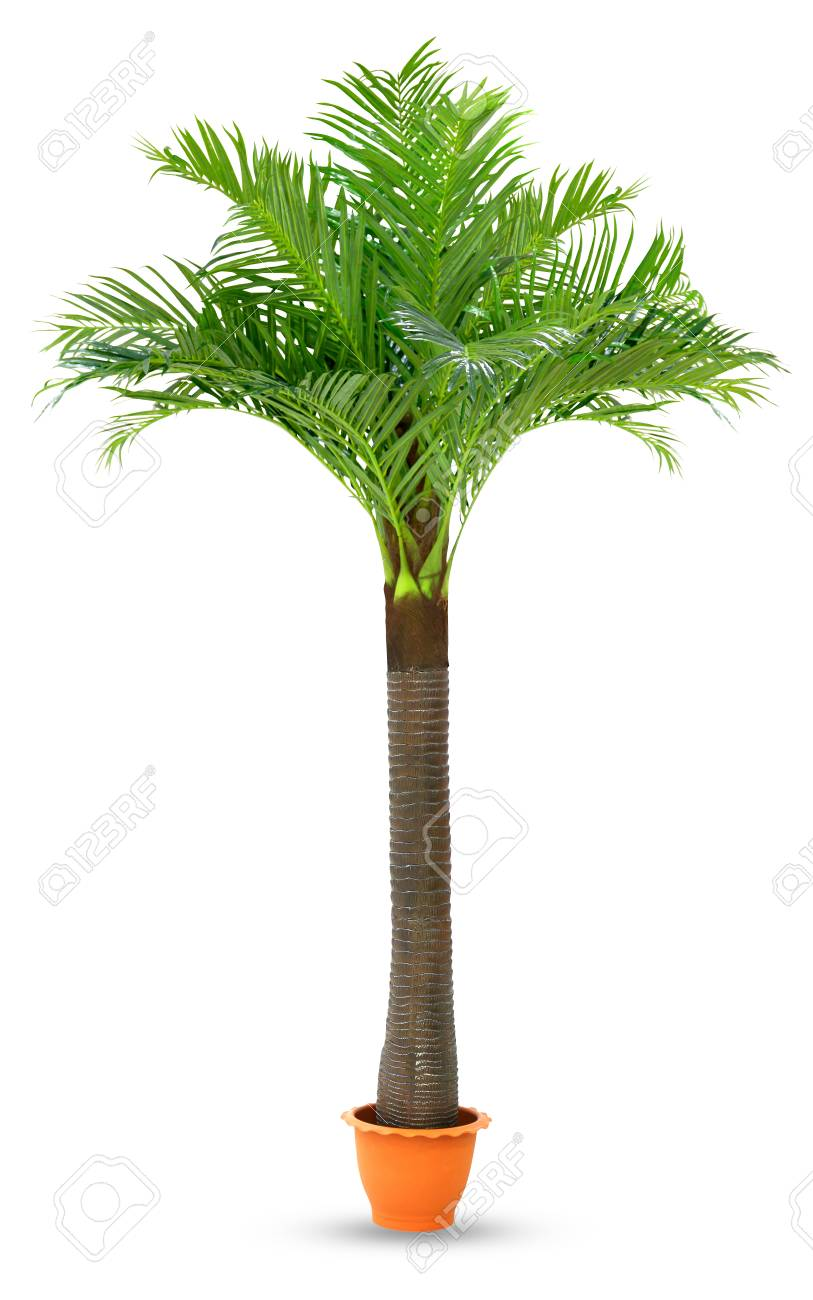 Palm In Pot.Coconut Palm Tree In Pot Plastic Isolated White Background Coconut