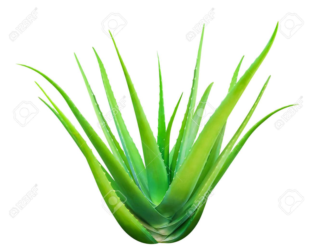 Aloe Vera isolated on white, Aloe Vera leaf, Aloe Vera fresh - 166688749