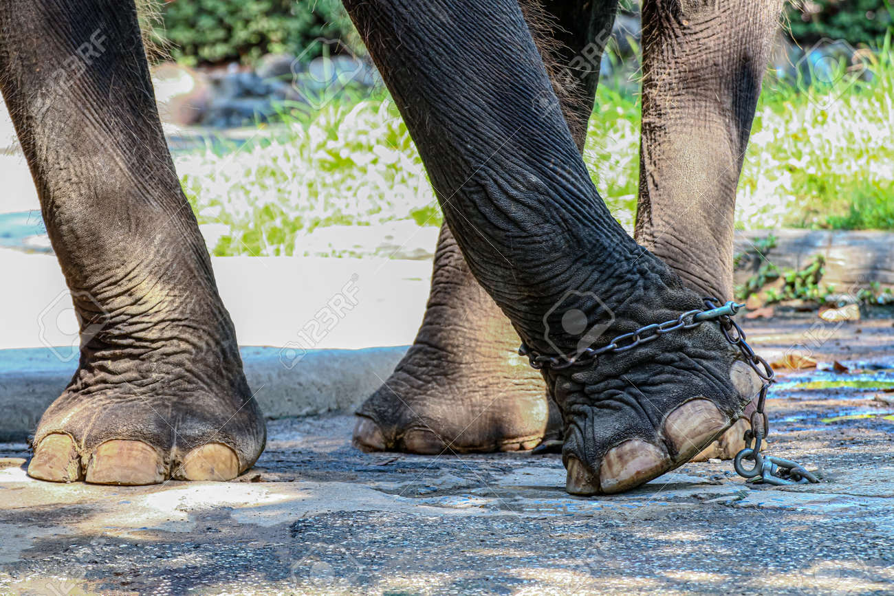Elephant's leg and chain on concrete floor, Elephant is tortured, Image meaning of Elephants was battered with Elephant leg tied with chains in quarantine area - 169068094