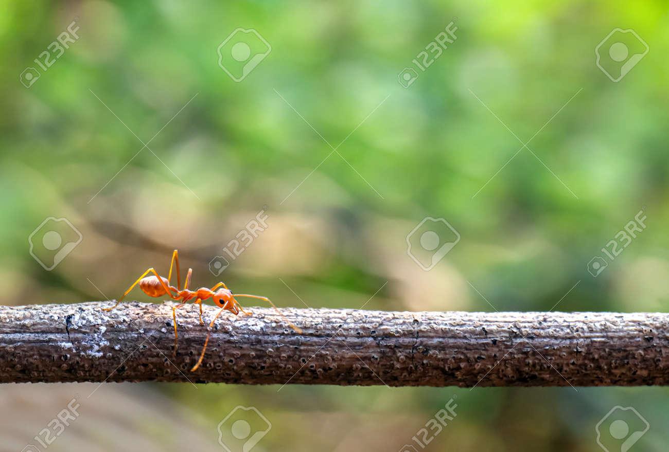 ant, red ant walking on the branch bridge horizontal - 169183403