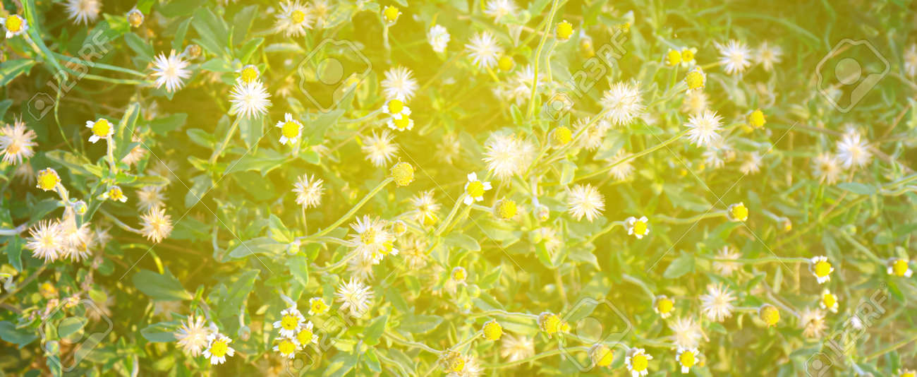 grass flower with sunlight morning time, wildflower for background - 169183407
