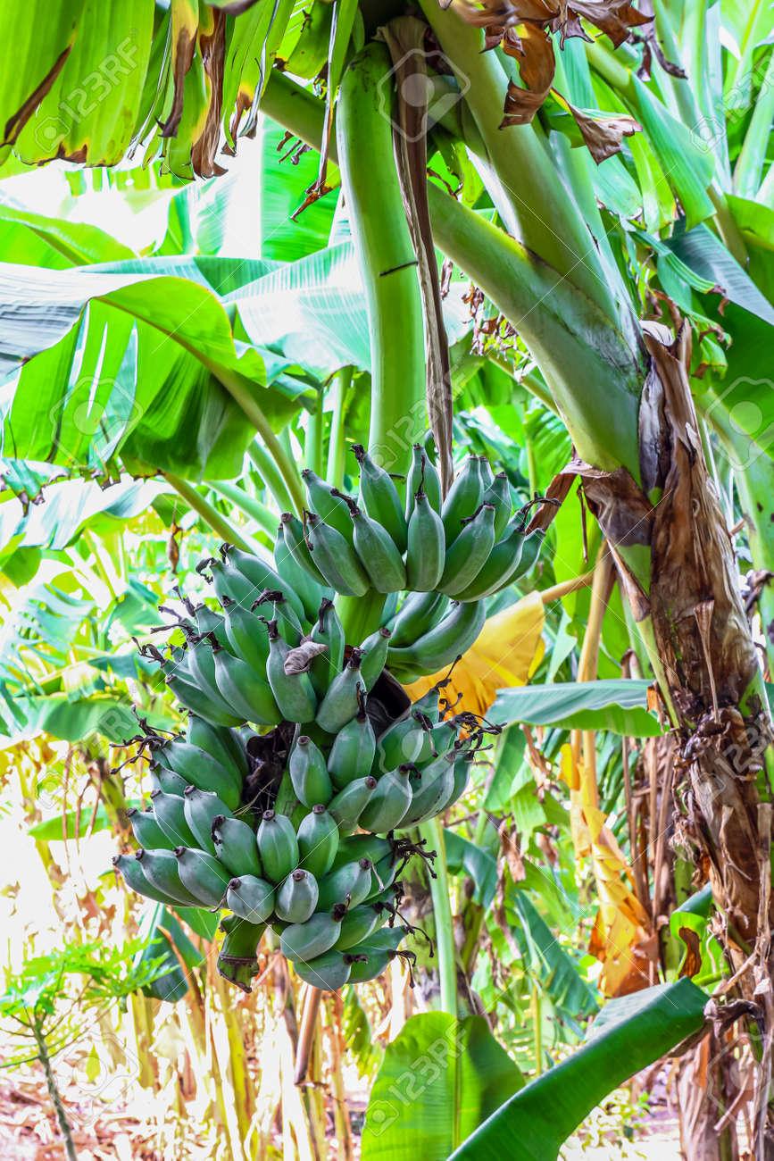 banana raw on a banana tree - 169183426