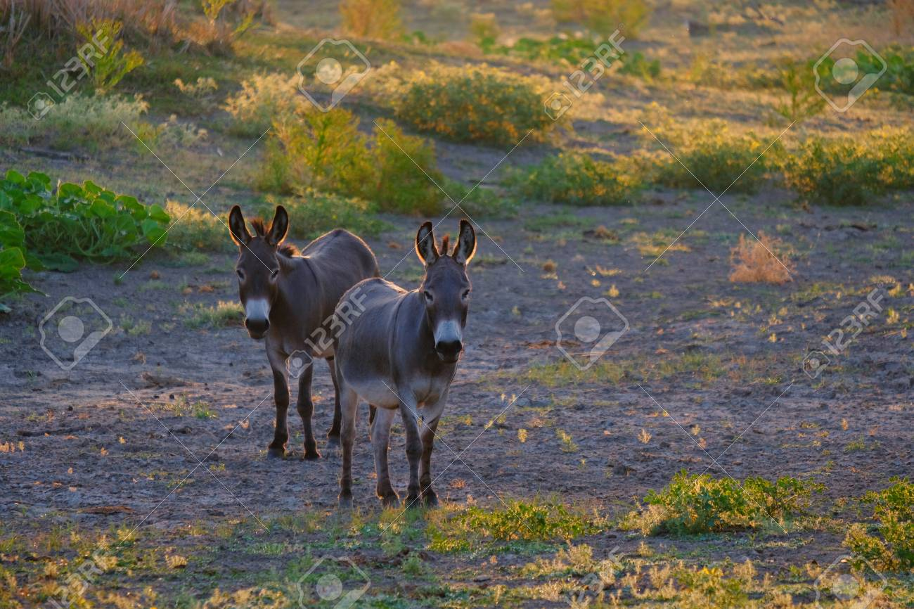 Two mini donkeys show friendship in farm pasture