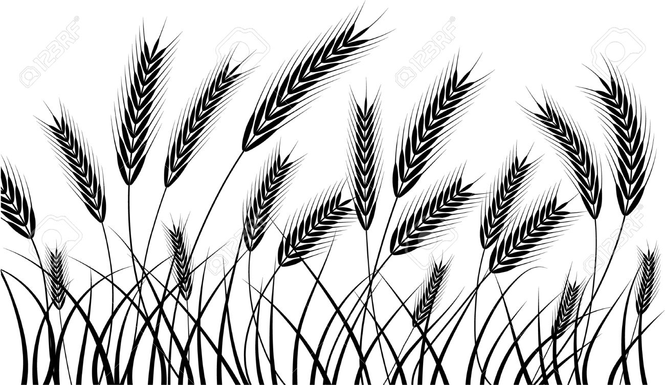 silhouette of wheat ears ready for harvest - 3804106