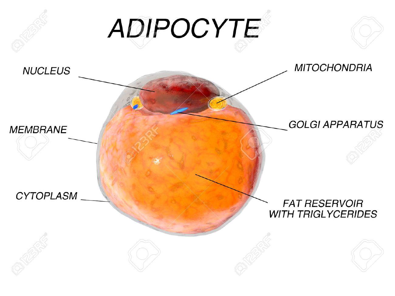 Las Células De Grasa Del Tejido Adiposo. Adipocitos. 3d Fotos ...