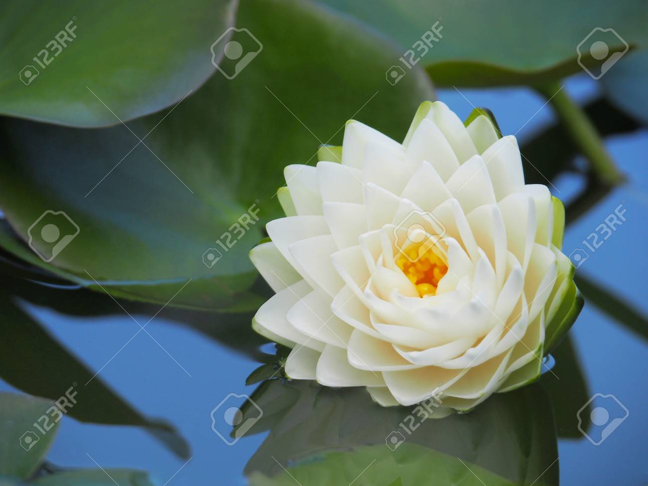 Lotus flower or water lily with green leaves beautifully blooming lotus flower or water lily with green leaves beautifully blooming in the spa pool to decorate izmirmasajfo