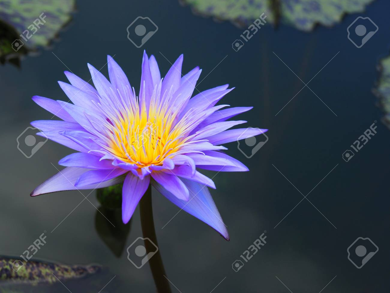 Lotus flower or water lily and green leaf beautifully blooming lotus flower or water lily and green leaf beautifully blooming in the spa pool to izmirmasajfo