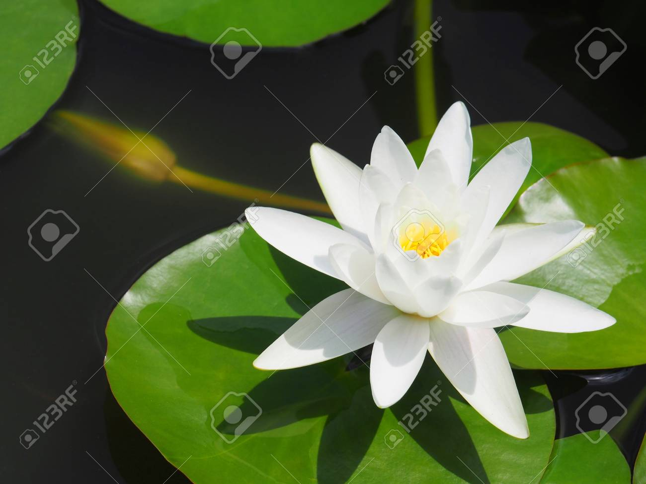 Lotus flower or water lily white with green leaves beautifully lotus flower or water lily white with green leaves beautifully blooming in the spa pool izmirmasajfo