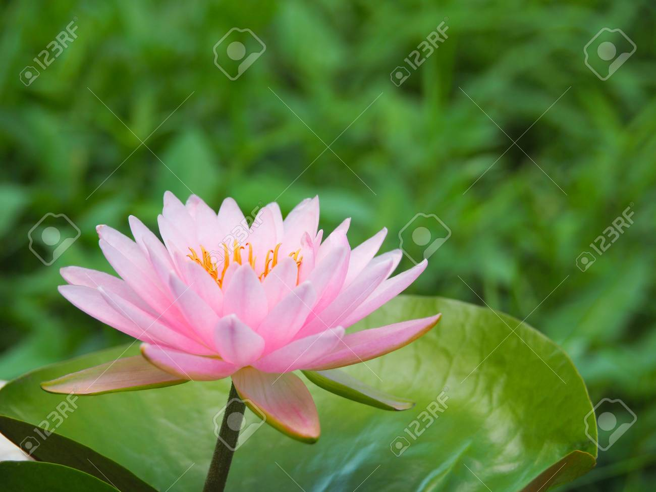 Lotus flower or water lily pink with green leaves beautifully lotus flower or water lily pink with green leaves beautifully blooming in the spa pool izmirmasajfo