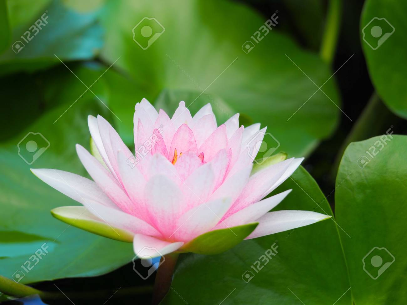 Lotus flower or water lily white and pink with green leaves stock lotus flower or water lily white and pink with green leaves beautifully blooming in the izmirmasajfo