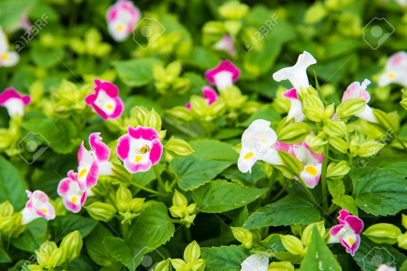 Colorful Wishbone Flowertorenia Fournieri Flower Seeds Beautiful