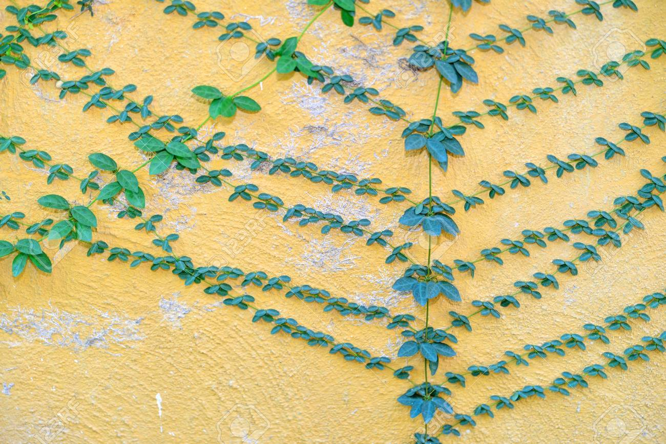 Vintage Wall Covered With Climber Or Green Creeper Stock Photo ...