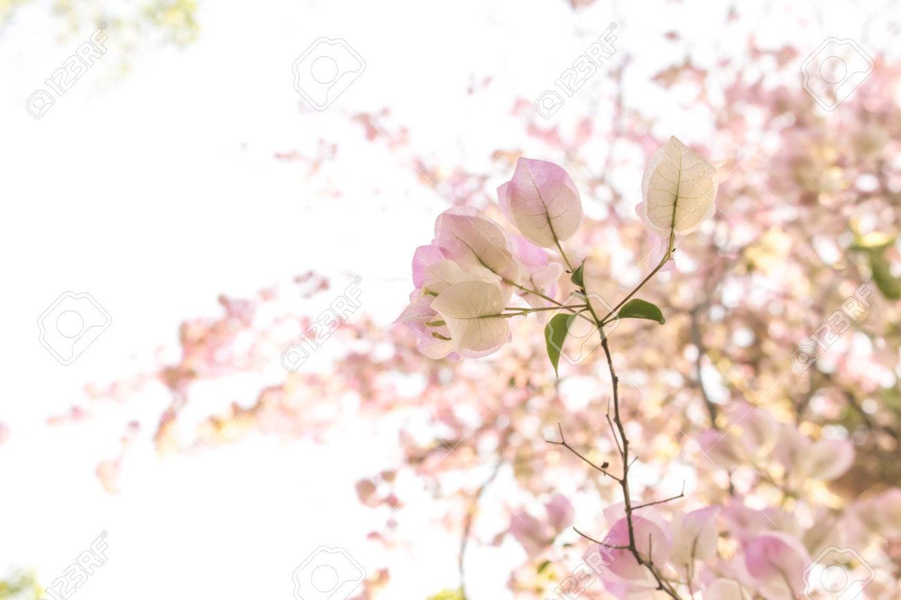 Pale pink flowers with blur pale pink flowers background stock photo pale pink flowers with blur pale pink flowers background stock photo 54622163 mightylinksfo