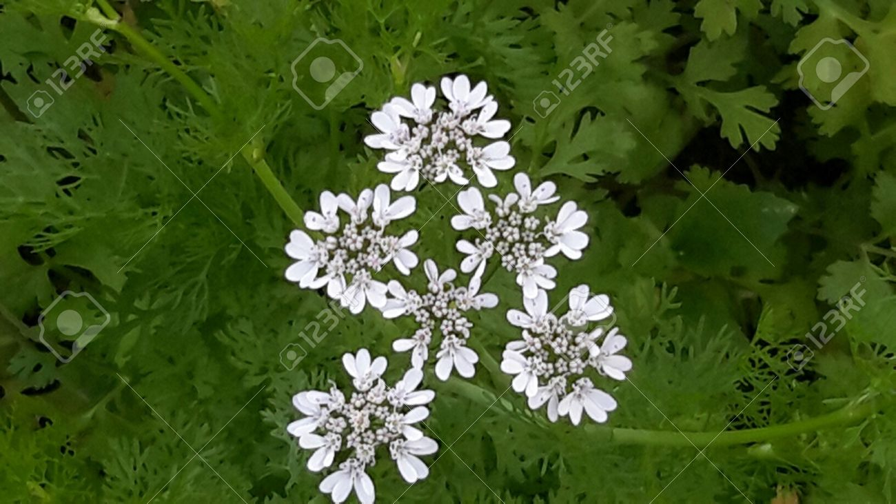 Coriander flower is white flower also known as cilantro chinese coriander flower is white flower also known as cilantro chinese parsley or dhania that mightylinksfo