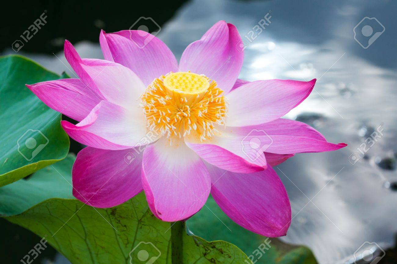 macro opened blossom of a beautiful pink lotus flower stock photo, Natural flower