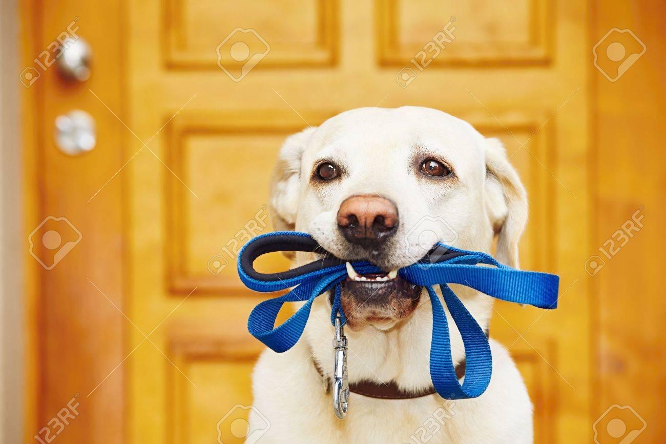 Labrador retriever with leash  is waiting for walk. Standard-Bild - 47464273