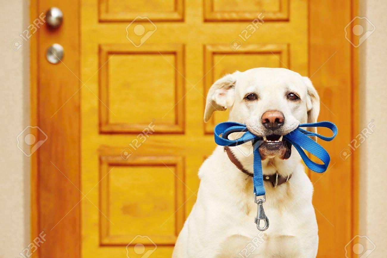Labrador retriever with leash  is waiting for walk. Standard-Bild - 47464276