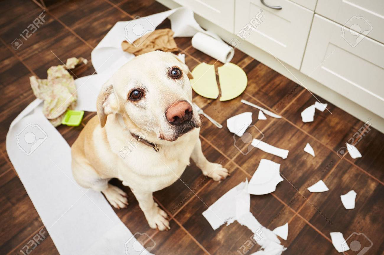 Naughty dog - Lying dog in the middle of mess in the kitchen. Standard-Bild - 48628906