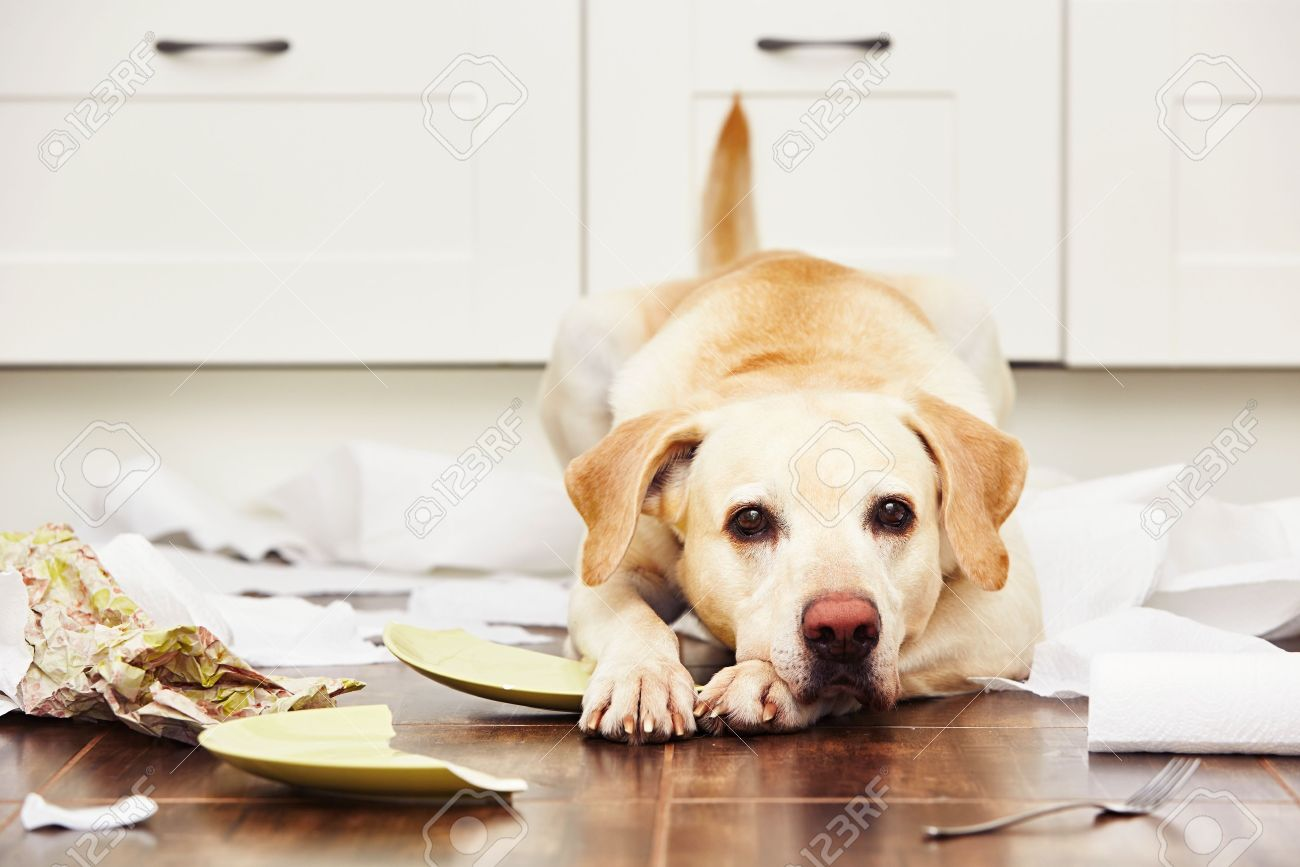 Naughty dog - Lying dog in the middle of mess in the kitchen. Standard-Bild - 48628911