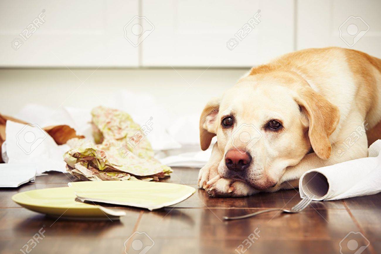 Naughty dog - Lying dog in the middle of mess in the kitchen. Standard-Bild - 48628912