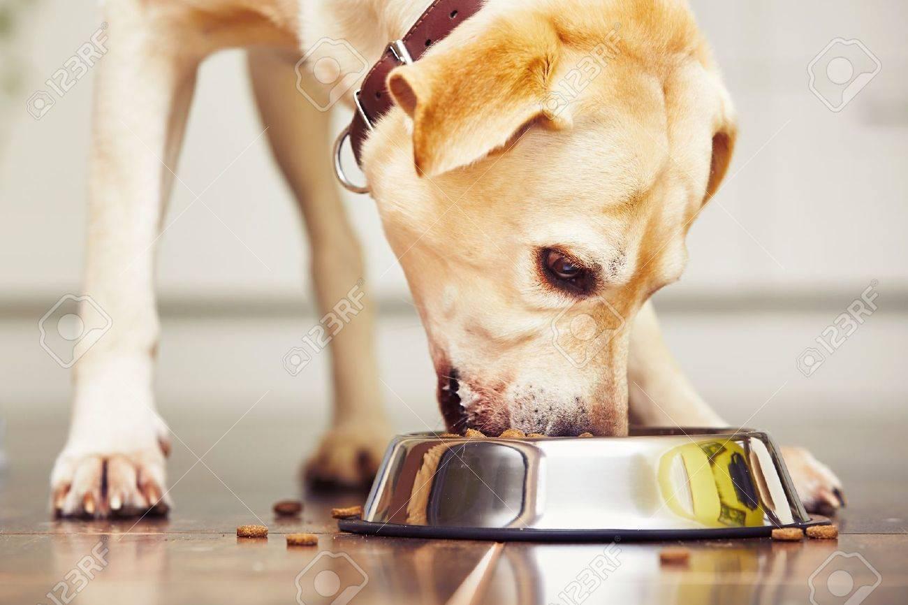 Hungry labrador retriever is feeding at home. Standard-Bild - 48629012