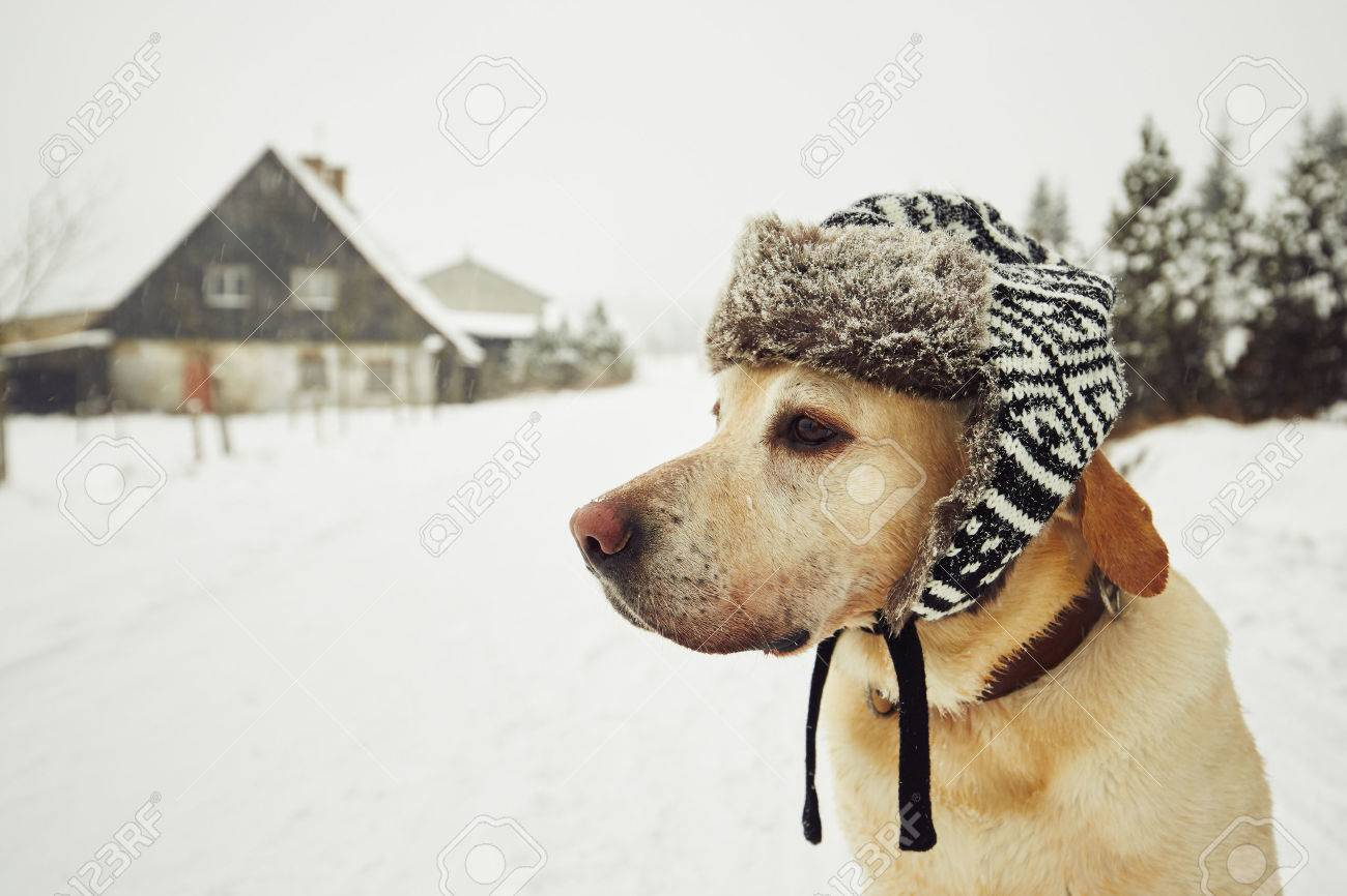 Labrador retriever with cap on his head in winter Standard-Bild - 49597332