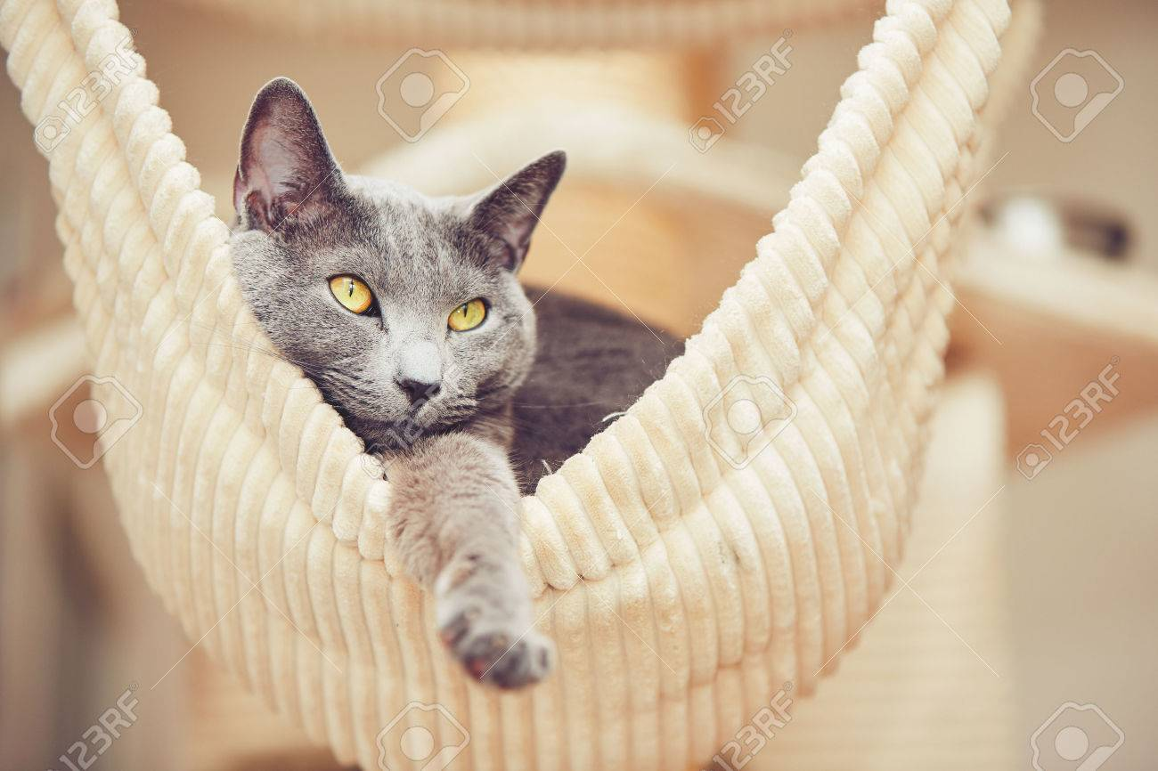Portrait of the russian blue cat at the home Standard-Bild - 57035413