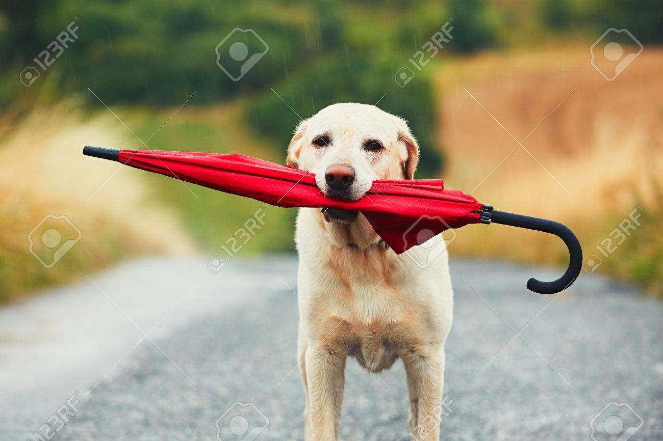 Obedient dog in rainy day. Adorable labrador retriever is holding red umbrella in mouth and waiting for his owner in rain. Standard-Bild - 60863496