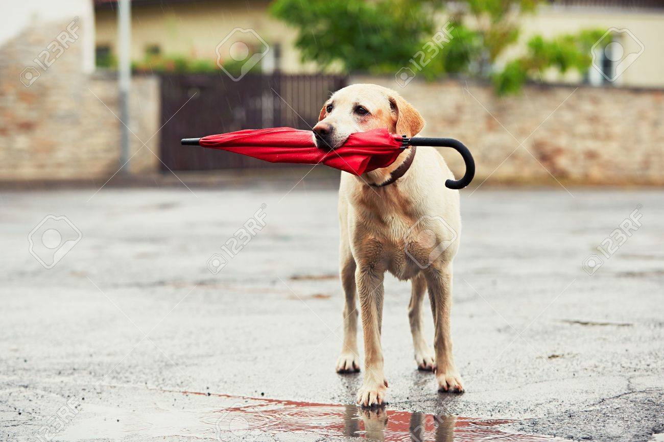 Obedient dog in rainy day. Adorable labrador retriever is holding red umbrella in mouth and waiting for his owner in rain. Standard-Bild - 60863498