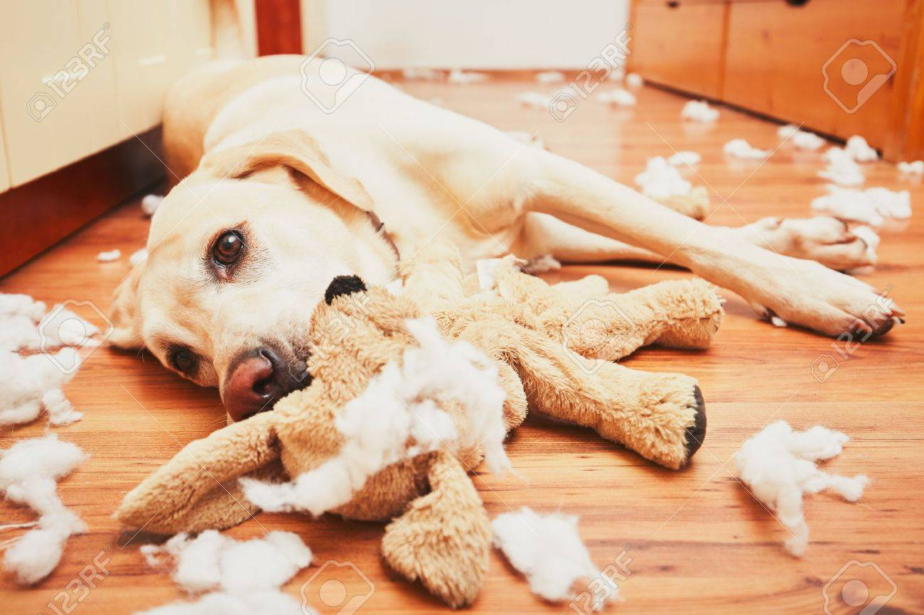 Naughty dog home alone - yellow labrador retriever destroyed the plush toy and made a mess in the apartment - 64857626