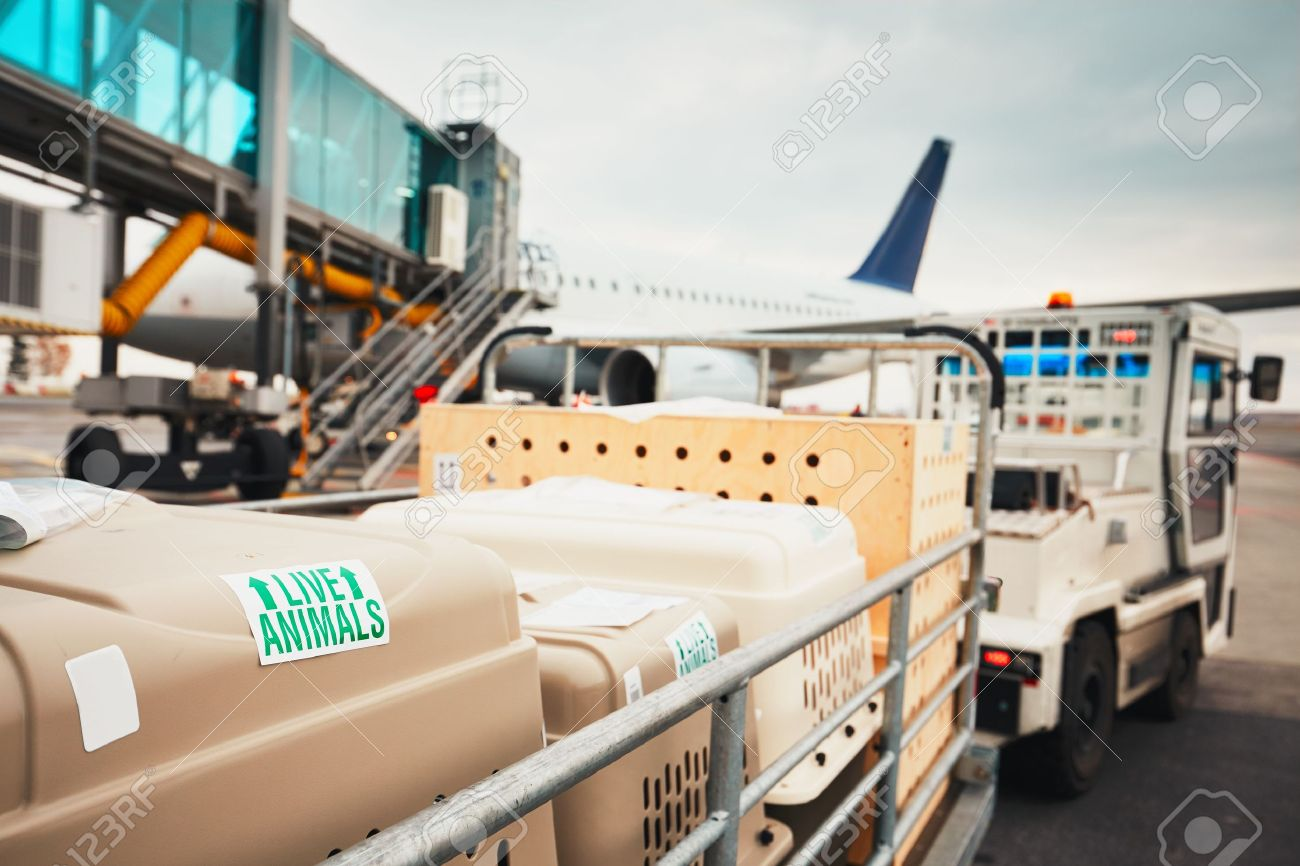 Dogs traveling by airplane. Boxes with live animals at the airport. Standard-Bild - 67159561