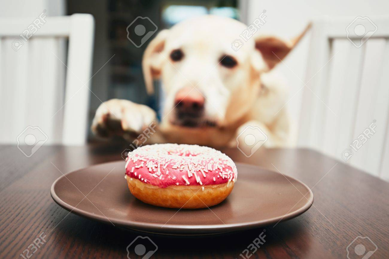 Mischievous dog in home kitchen. Naughty labrador retriever steals the donut from the table. Standard-Bild - 81598366