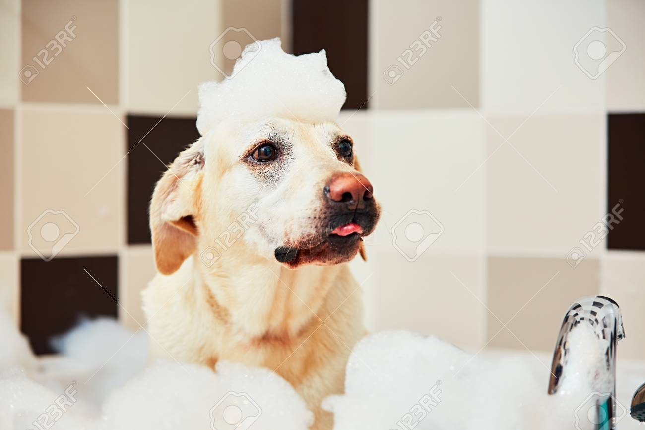 Bathing of the yellow labrador retriever. Happiness dog taking a bubble bath. - 81888132