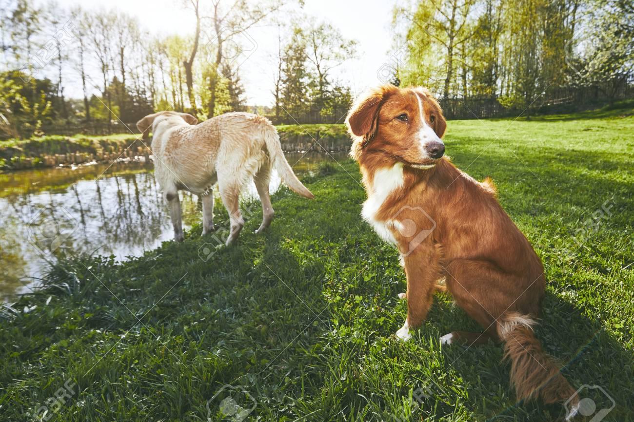 Two Friendly Dogs In Summer Nature Labrador Retriever And Nova