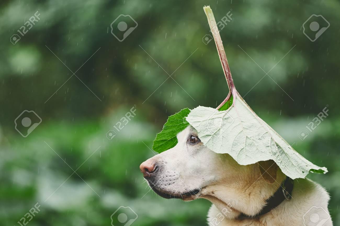 Rainy day with dog in nature. Labrador retriever hiding head under leaf of burdock in rain. - 101683659