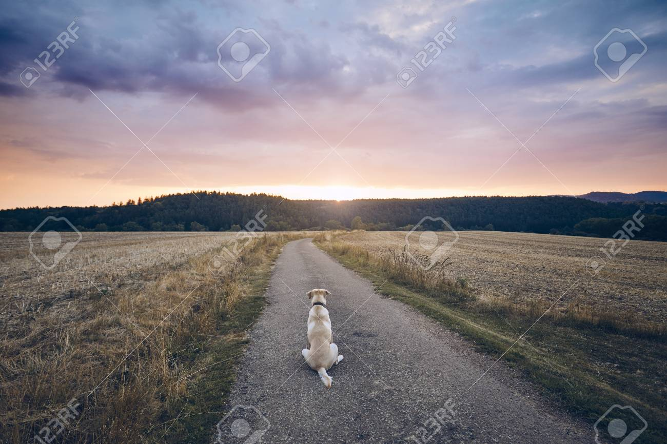Rear view of the sad dog. Loyal labrador retriever waiting on the rural road at sunset. - 106153332