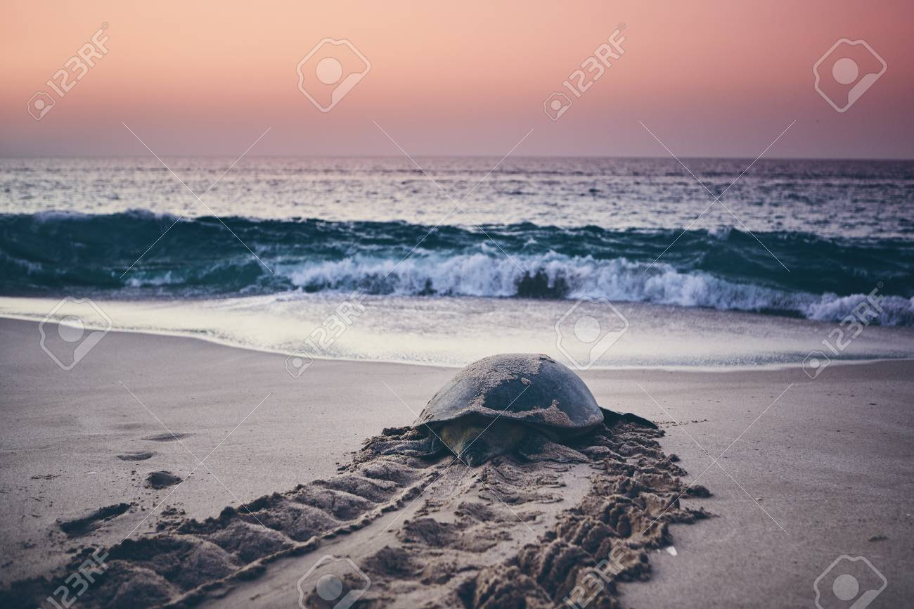 Huge green turtle heading back to ocean. Unique hatching place in Ras Al Jinz, Sultanate of Oman. - 113363455